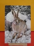 Animaux Faune- Lièvre - Non Circulé - Un Clic Sur La Photo .. - - Tierwelt & Fauna