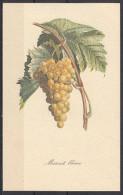 1 - Cartoncino Illustrativo - Vitis Vinifera - Uva Da Vino Bianca - Muscat Blanc - Moscato - Schede Didattiche