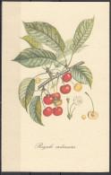 4 - Cartoncino Illustrativo - Prunus Avium - Ciliegia - Royale Ordinaire - - Altri