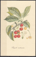 4 - Cartoncino Illustrativo - Prunus Avium - Ciliegia - Royale Ordinaire - - Schede Didattiche