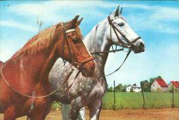 HORSES / PFERDE / CHEVAUX /  POSTCARD UNUSED     ( H  3585  / - Pferde