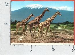 CARTOLINA VG KENIA - Giraffe Nella Savana - 10 X 15 - ANN. 1975 - Kenia