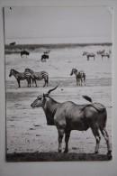 Common Eland - Zebra - Africa - Old Postcard - Zebras