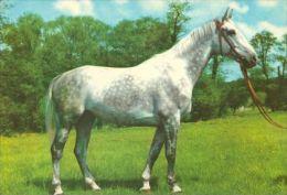 HORSES / PFERDE / CHEVAUX /  POSTCARD UNUSED     ( H  3595  / - Pferde