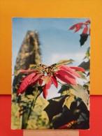 Papillon Sur Pointsettia Pulcherima - Non Circulé - Un Clic Sur La Photo .. - - Plantes Toxiques