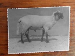 Sheep Coka Serbia Vojvodina