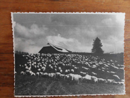 Sheep Sjenička race from Han Pijesak Serbia