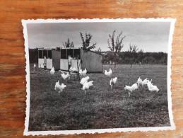 Leghorn roosters race Kamendin Serbia Vojvodina Srem