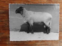 Sheep Farm Coka Serbia Vojvodina 1952