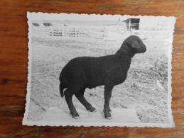 Lamb race Karakula