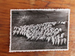 Sheep race Tsigai Coka Vojvodina Serbia