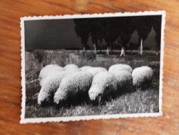Sheep race Tsigai i Shropshire Pancsova Banat Pancevo Serbia
