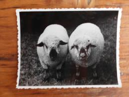 Rams photographed from the front, left hemşire, desnoSropsir Banat Pancevo Pancsova