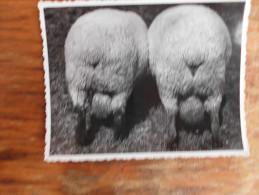Rams photographed from the back, levoHemsir, right Shropshire, Pancevo Pancsova Banat