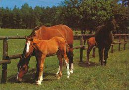 HORSES / PFERDE / CHEVAUX /  POSTCARD UNUSED     ( H  3640  / - Pferde