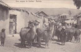 Bolivia Una majada de Llamas