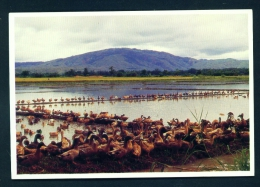 PHILIPPINES  -  Nueva Vizcaya  Ducks In The Ricefields  Unused Postcard - Philippines