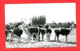 Bolivia, Vintage RPPC Rebaño De Llamas, Carte Photo Bolivie, Troupeau De Lamas - Bolivie