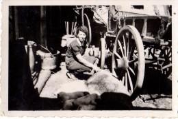 Photo Originale Ferme - Truies Et Porcelets à L'allaitement Près D'un Attelage à La Ferme Avec Fermière Qui Veille - - Métiers