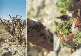 Sultanat D´OMAN -Frankincense In Dhofar - Oman
