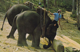 WORKING  ELEPHANTS, THAILAND. - Elephants