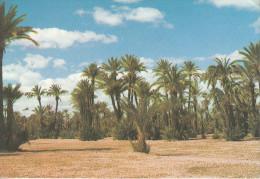 Maroc - Marakech - Une Palmeraie - L'un Des Paysages Marocains -