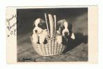 Photocarte De 2 Chiots ( Chien) Saint Bernard - Photographe Animalier E. Gobert à Bruxelles - +/- 1950 (1789)aLB - Dogs