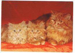 CHATS PERSANS EN FAMILLE - Katten