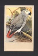 ANIMALS - ANIMAUX - OISEAUX - BIRDS -  GRAUPAPAGEI - African Grey Parrot - Jaco - Papegaai - PAR P. SLUIS - Oiseaux