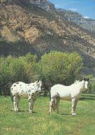 HORSES / PFERDE / CHEVAUX /    POSTCARD UNUSED     ( H  3705  / - Pferde