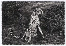 SOMALIA AFIS - GHEPARDO - CYNAELURUS JABATUS - ARAMBETT (NOME SOMALO) - 1958 - Somalia