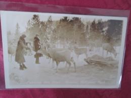 CARTE PHOTO .  FOODING THE DEER . JASPER NATIONAL PARK - Canada