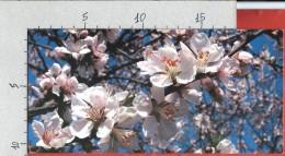 CARTOLINA NV ITALIA - CHERRY BLOSSOM - Fiori Di Ciliegio - 10 X 22 FORMATO LUNGO - Fleurs