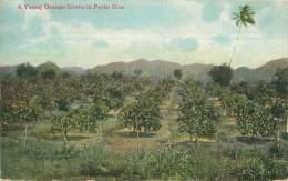 A Young Orange Grove In PORTO RICO - Puerto Rico