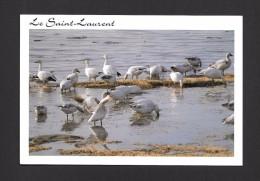 ANIMAL - ANIMAUX - OISEAUX - PARC DU BIC LA HALTE DES OIES DES NEIGES - GRAND FORMAT 16½ X 11.2cm  PAR SYLVAIN CHARTRAND - Oiseaux