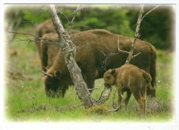 CPM   48  SAINTE EULALIE EN MARGERIDE       RESERVE DE BISONS    JEUNE BISON - Animals