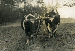 France Côtes Du Nord Agriculture Labourage Boeufs Ancienne Photo 1939 - Beroepen