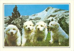 DOGS / HUNDE / CHIENS /  -    CHIEN DES PYRENEES   CARD  USED   ( P 1294  / - Chiens