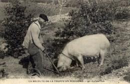 24 Récolte De La Truffe En Périgord La Bête Cave- Personnage Et Son Cochon Truie - France