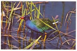 PURPLE GALLINULE - Everglades National Park, Florida (Unused Postcard - USA) - Birds