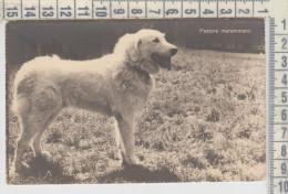 DOG, CHIEN, HUND, Maremma Sheepdog, Pastore Maremmano - Chiens