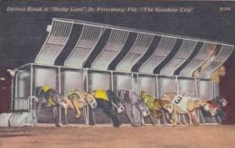 Dog Racing Perfect Break At Derby Lane St Petersburg Florida - Cartes Postales