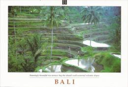 INDONESIE. Culture Du Riz à BALI, Rizières En Terrasses, Carte Postale Neuve Non Circulée - Cultures