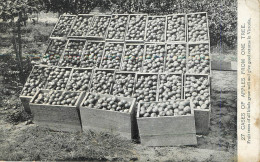 Victoria : Cases Of Apples From One Tree - Australie