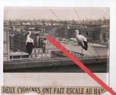 Photo - Deux Cigognes Ont Fait Escale Au Havre - 24x18cm - Lieux