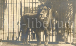 Postcard / CP / Postkaart / Lion / Leeuw / Ed. NPG / R 101 - Lions