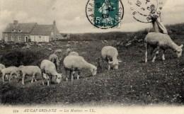62 AU CAP GRIS-NEZ Les Moutons Très Animée - Autres Communes