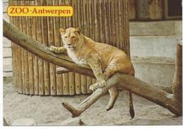 Lionne - Lions