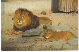 Lion Mr Et Mme - Lions