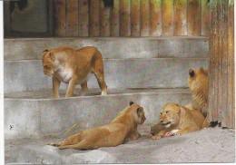 Lion Enfants - Lions